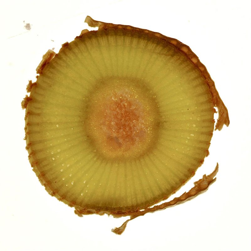 Vine cross section